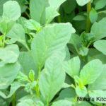Amaranth Leaves Stir Fry   Siru Keerai Poriyal   Fresh n Organic :-)