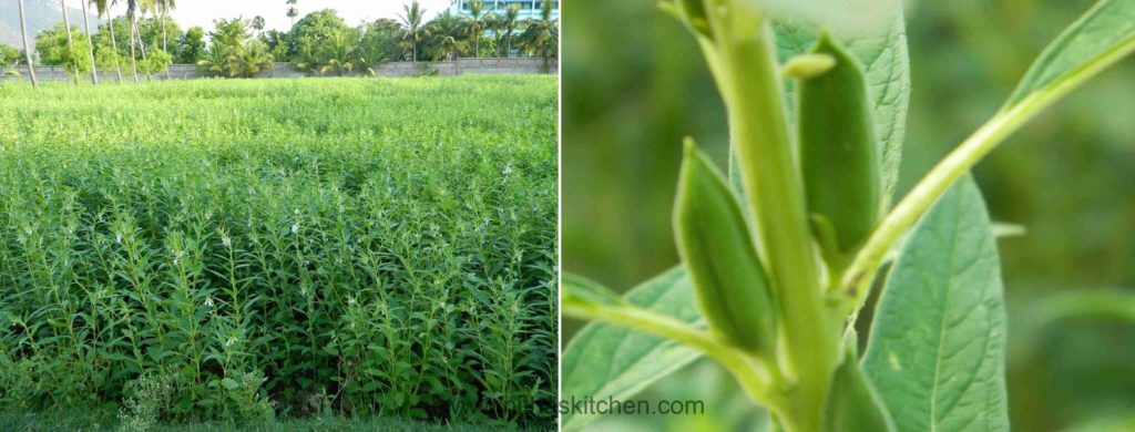 Sesame Plants from Nitha Kitchen farm