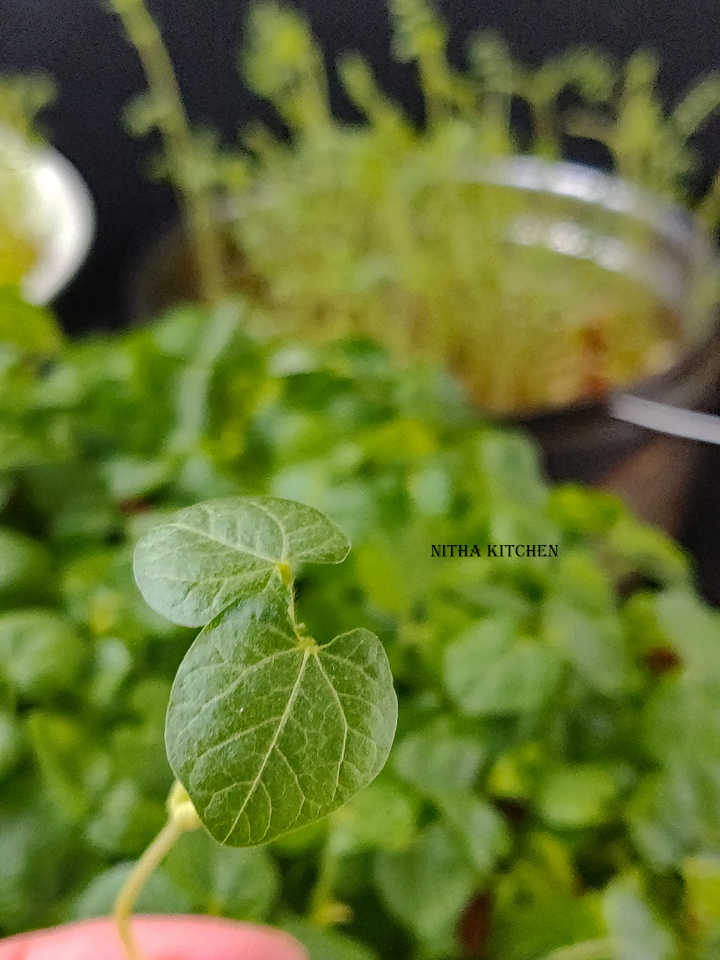 How To Grow Microgreens Indoor With Video Tutorial